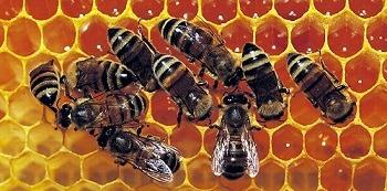 abeilles consomment miel